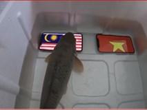 'Cá thần' bị om dưa vì chọn Malaysia thắng Việt Nam