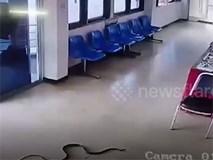 Rắn bò vào đồn cảnh sát rồi đột nhiên tấn công người