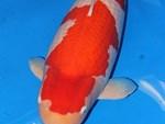 Đại gia Thái Nguyên sang tận Nhật Bản sắm đàn cá bạc tỷ về chơi-14