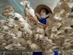 Bất chấp nắng nóng, dân trồng nấm bào ngư vẫn lời tiền triệu/ngày-5