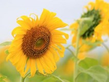 Ảnh: Cánh đồng hoa hướng dương đẹp nhất Việt Nam bắt đầu nở rộ