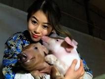 Sốc độc lạ: Hô hấp nhân tạo cho lợn, cô gái kiếm hàng tỷ đồng mỗi năm
