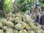 Quan xã tỷ phú nổi danh cả vùng: Cũng là nhờ trồng sầu riêng-3