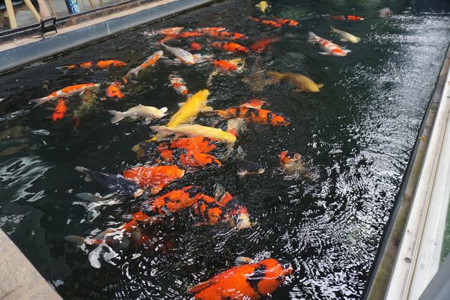 Ngắm hồ cá Koi tiền tỷ của dân chơi phố Núi-1