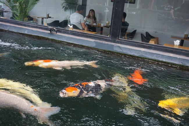 Ngắm hồ cá Koi tiền tỷ của dân chơi phố Núi-10