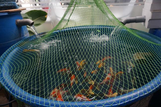 Ngắm hồ cá Koi tiền tỷ của dân chơi phố Núi-11
