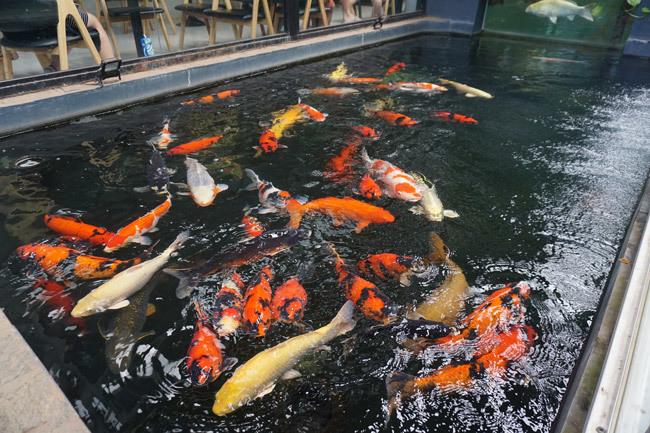 Ngắm hồ cá Koi tiền tỷ của dân chơi phố Núi-2