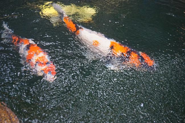 Ngắm hồ cá Koi tiền tỷ của dân chơi phố Núi-3