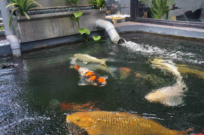 Ngắm hồ cá Koi tiền tỷ của dân chơi phố Núi-6