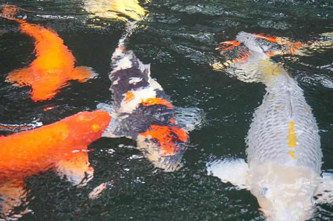 Ngắm hồ cá Koi tiền tỷ của dân chơi phố Núi-7