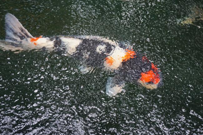 Ngắm hồ cá Koi tiền tỷ của dân chơi phố Núi-8