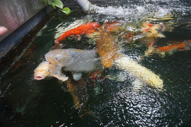 Ngắm hồ cá Koi tiền tỷ của dân chơi phố Núi-9