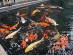 23 tháng Chạp, ông Công ông Táo cưỡi cá Koi Nhật về trời-6