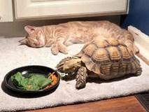 Đáng yêu nổ Twitter là câu chuyện mèo chờ bạn rùa ăn xong để chơi lâu đến mức ngủ gục bên cạnh