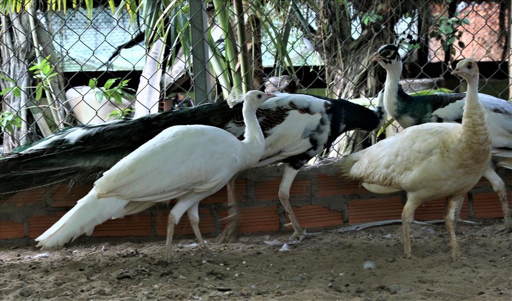 Trại chim quý giá cao vút 100 triệu đồng/cặp khách xếp hàng chờ mua-2