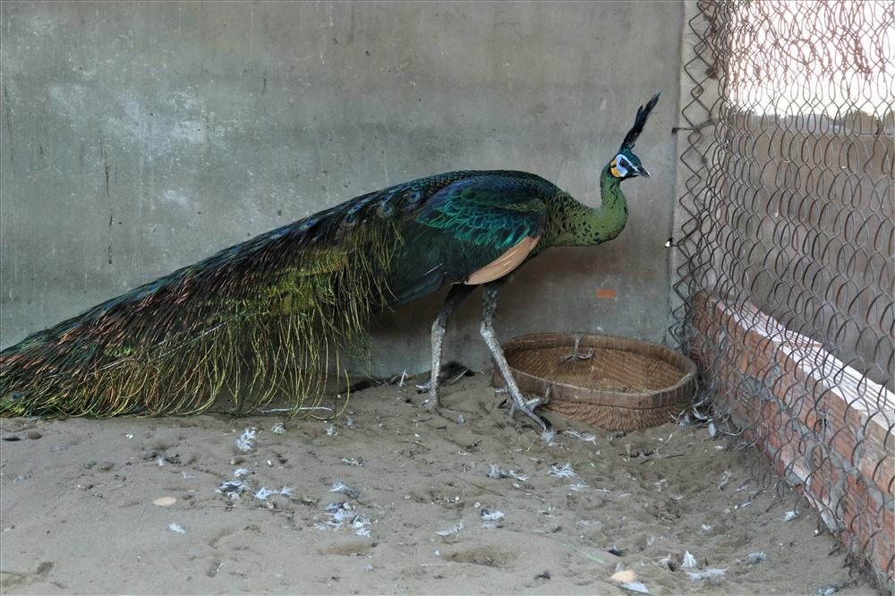 Trại chim quý giá cao vút 100 triệu đồng/cặp khách xếp hàng chờ mua-3