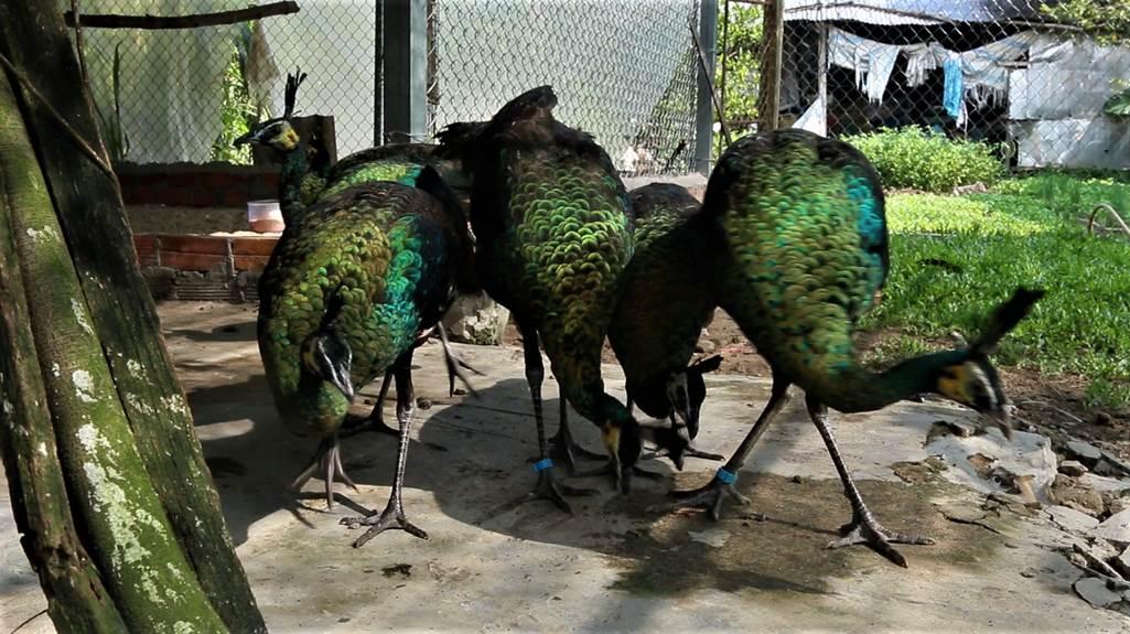 Trại chim quý giá cao vút 100 triệu đồng/cặp khách xếp hàng chờ mua-5