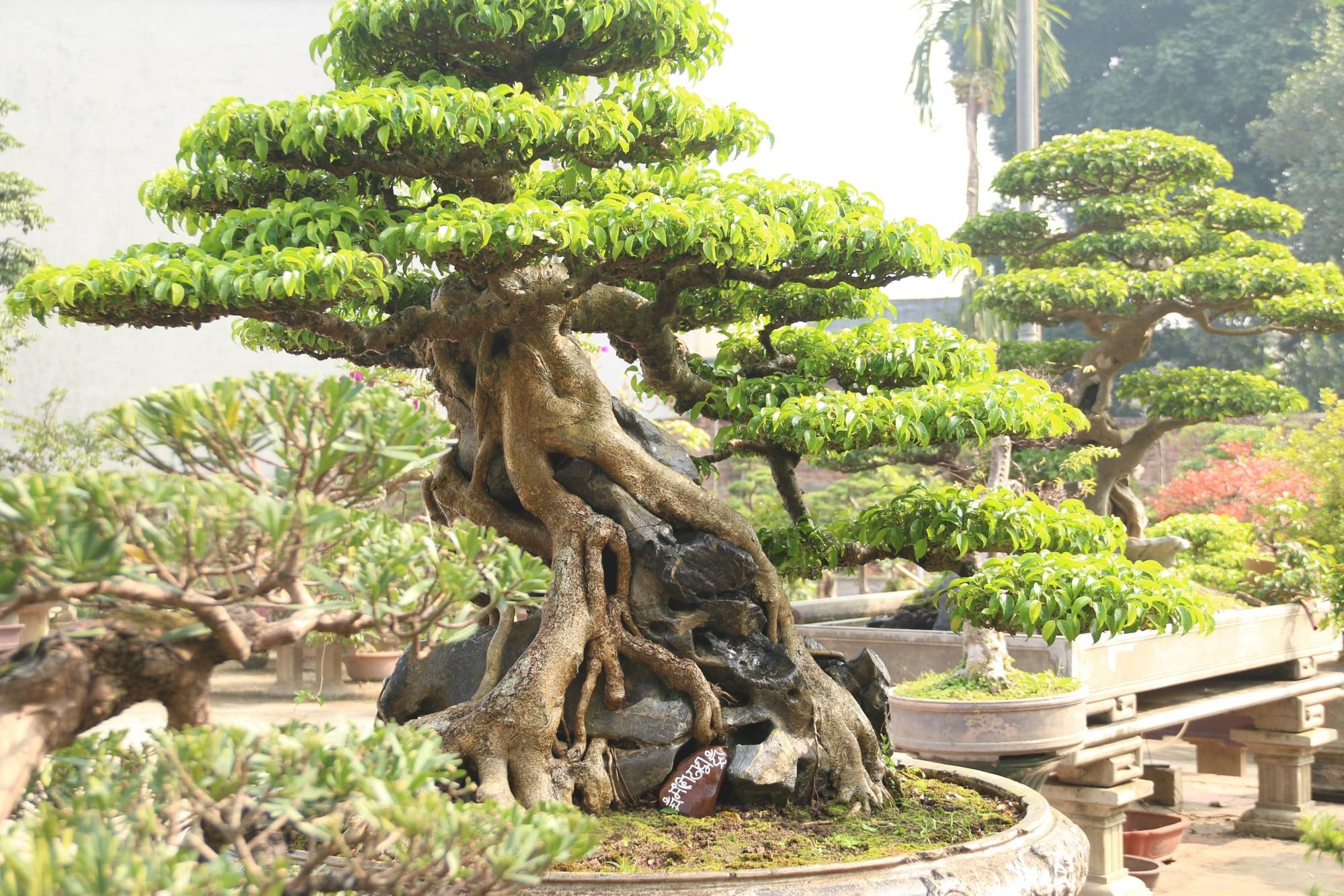 Sanh cổ dáng phượng giá triệu đô của ông vua cây cảnh Việt Nam-2