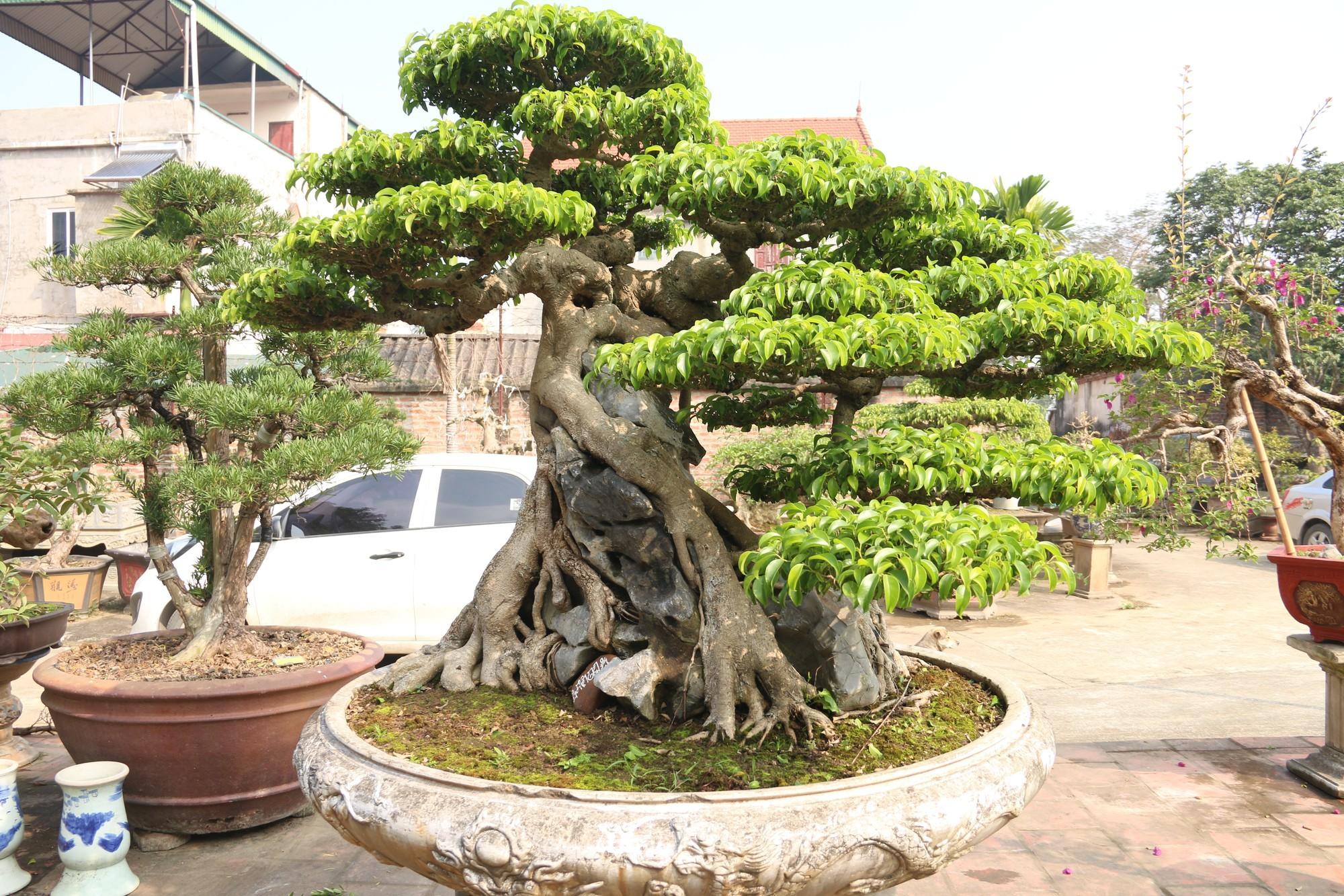 Sanh cổ dáng phượng giá triệu đô của ông vua cây cảnh Việt Nam-3