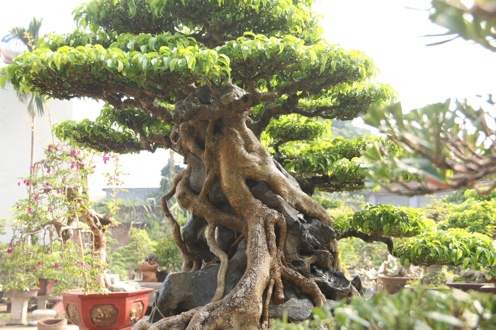 Sanh cổ dáng phượng giá triệu đô của ông vua cây cảnh Việt Nam-4