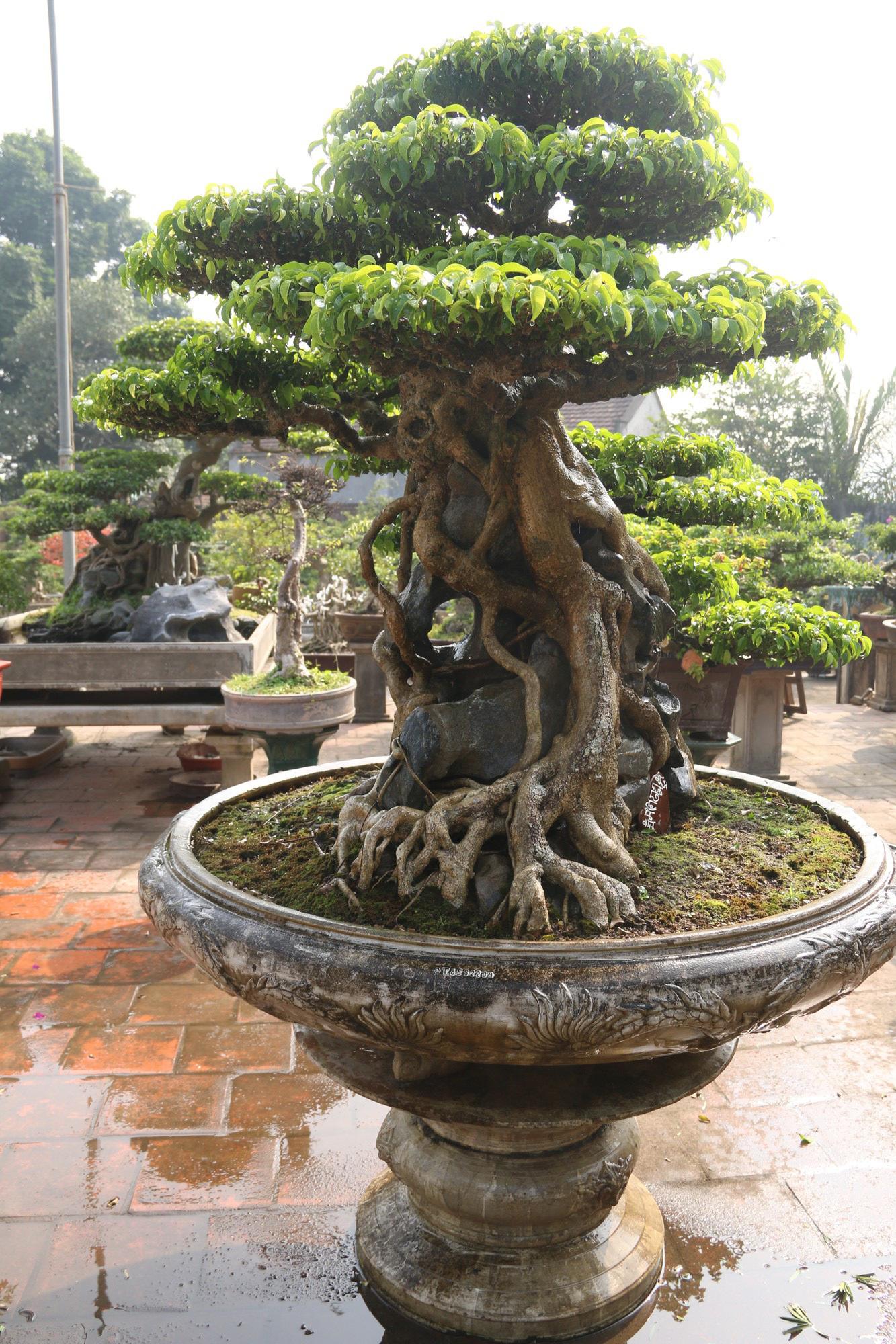 Sanh cổ dáng phượng giá triệu đô của ông vua cây cảnh Việt Nam-5