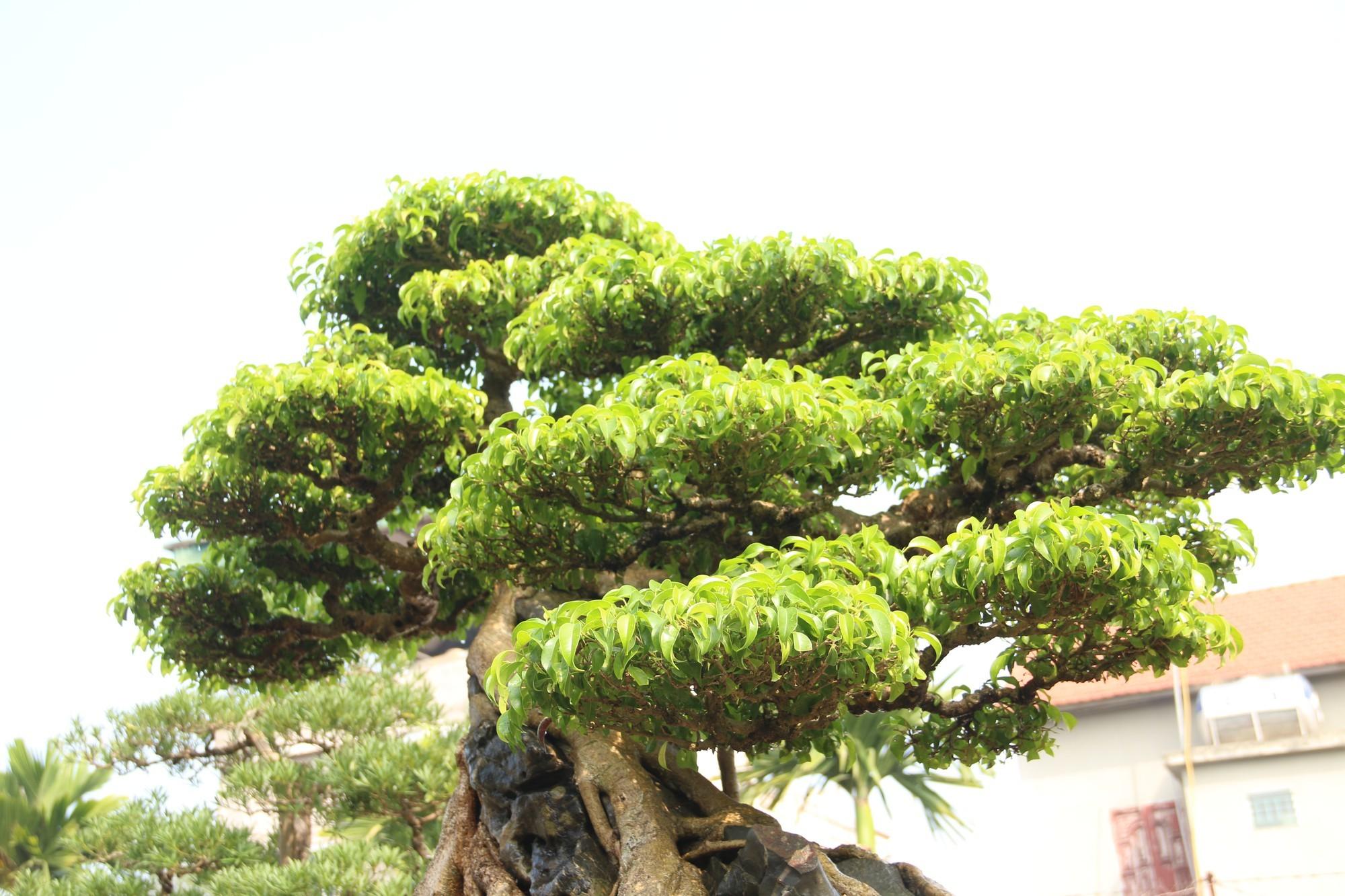 Sanh cổ dáng phượng giá triệu đô của ông vua cây cảnh Việt Nam-8