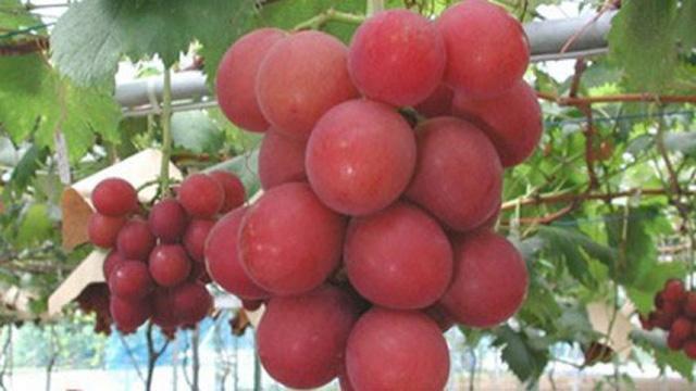 Những loại quả đắt tiền màu đỏ mà nhà giàu thường mua dịp Tết cho may mắn-4