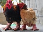 Đại gia Đài Loan sang Việt Nam: Bỏ 70 triệu mua 6 con gà khổng lồ ăn Tết-3
