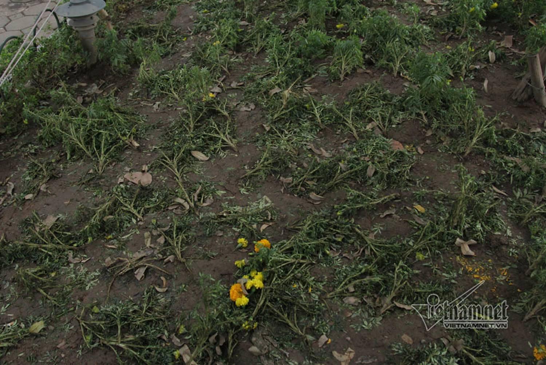 Sửng sốt vườn hoa hồ Gươm sáng nay bị san trụi sau giao thừa-2
