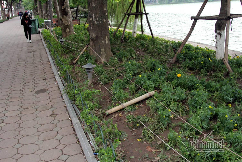 Sửng sốt vườn hoa hồ Gươm sáng nay bị san trụi sau giao thừa-15