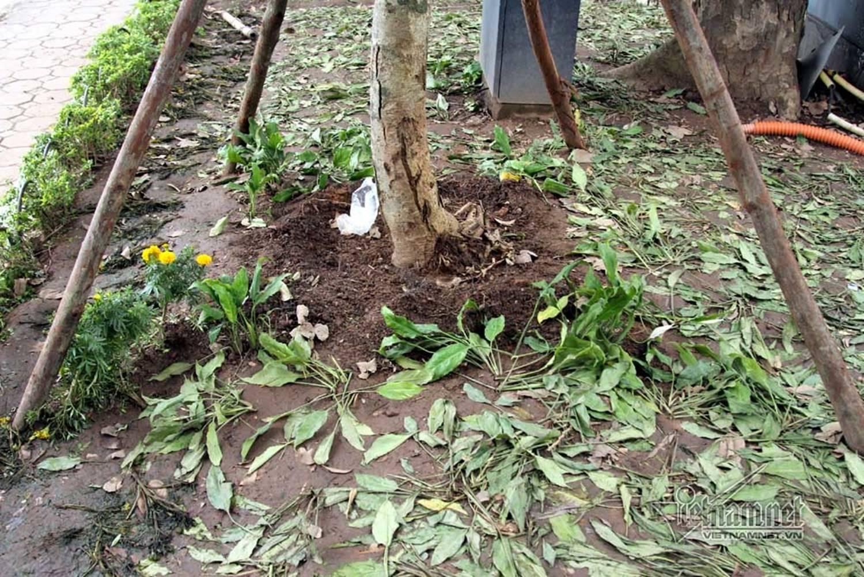 Sửng sốt vườn hoa hồ Gươm sáng nay bị san trụi sau giao thừa-19
