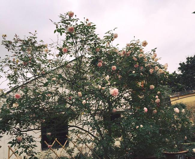 Những gốc hoa hồng cổ siêu đắt đỏ của đại gia Việt-1