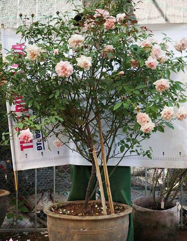 Những gốc hoa hồng cổ siêu đắt đỏ của đại gia Việt-10