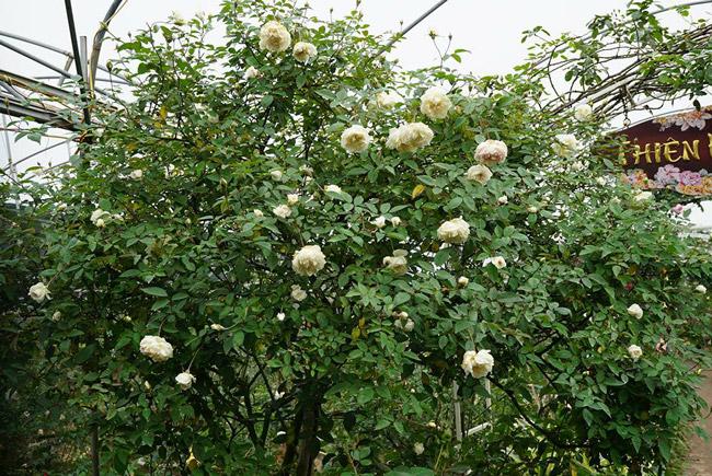Những gốc hoa hồng cổ siêu đắt đỏ của đại gia Việt-11