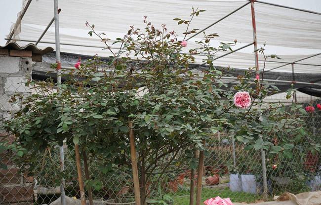 Những gốc hoa hồng cổ siêu đắt đỏ của đại gia Việt-12