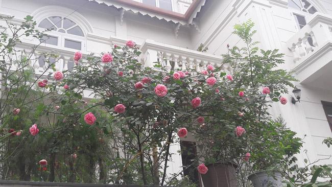 Những gốc hoa hồng cổ siêu đắt đỏ của đại gia Việt-13