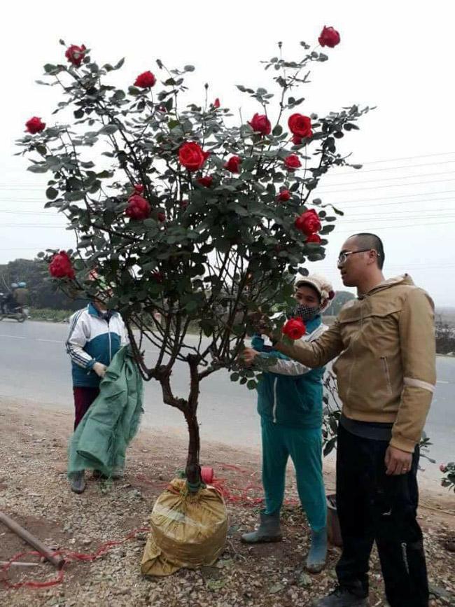 Những gốc hoa hồng cổ siêu đắt đỏ của đại gia Việt-14