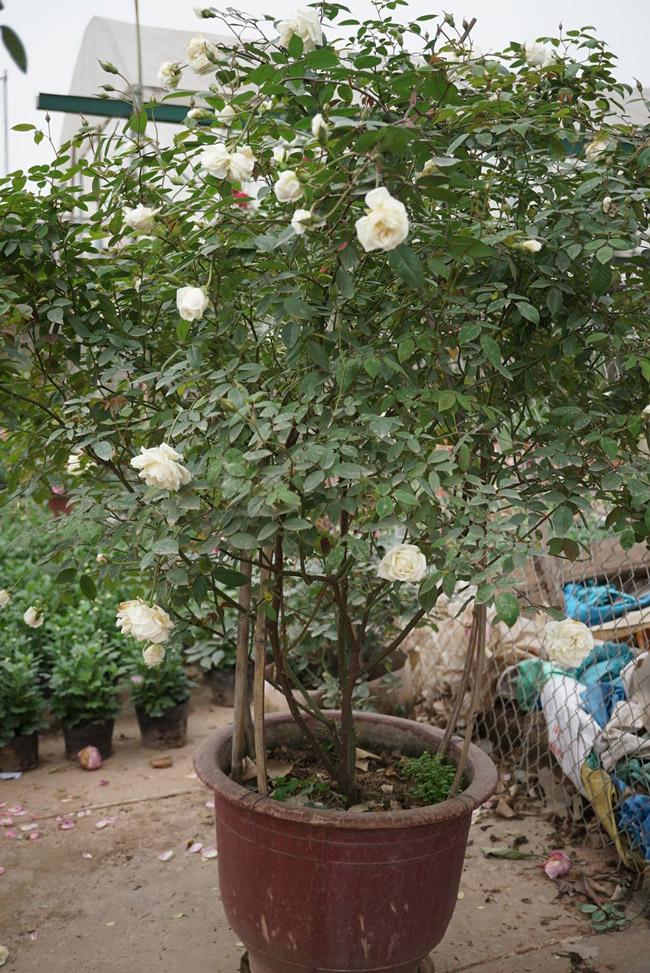 Những gốc hoa hồng cổ siêu đắt đỏ của đại gia Việt-15