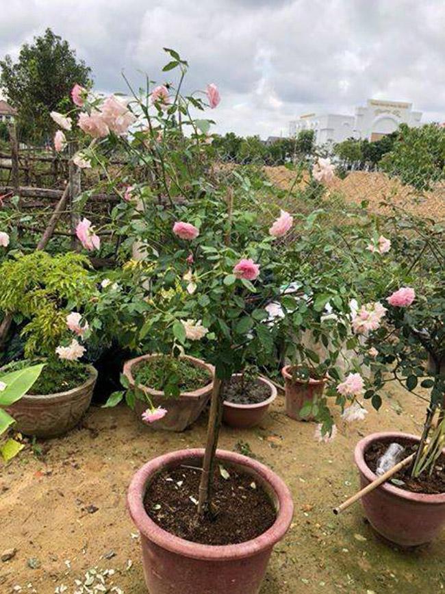 Những gốc hoa hồng cổ siêu đắt đỏ của đại gia Việt-17