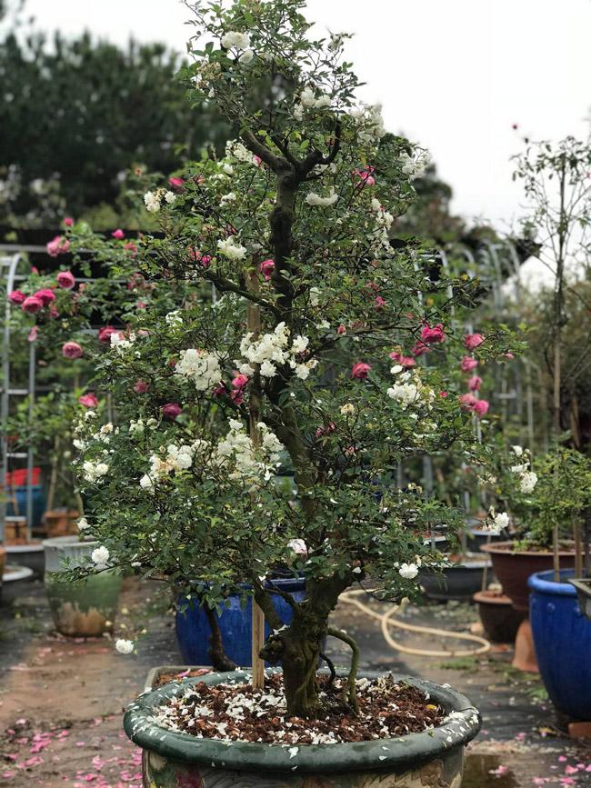 Những gốc hoa hồng cổ siêu đắt đỏ của đại gia Việt-18