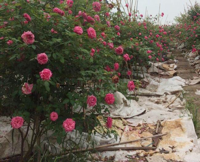 Những gốc hoa hồng cổ siêu đắt đỏ của đại gia Việt-4