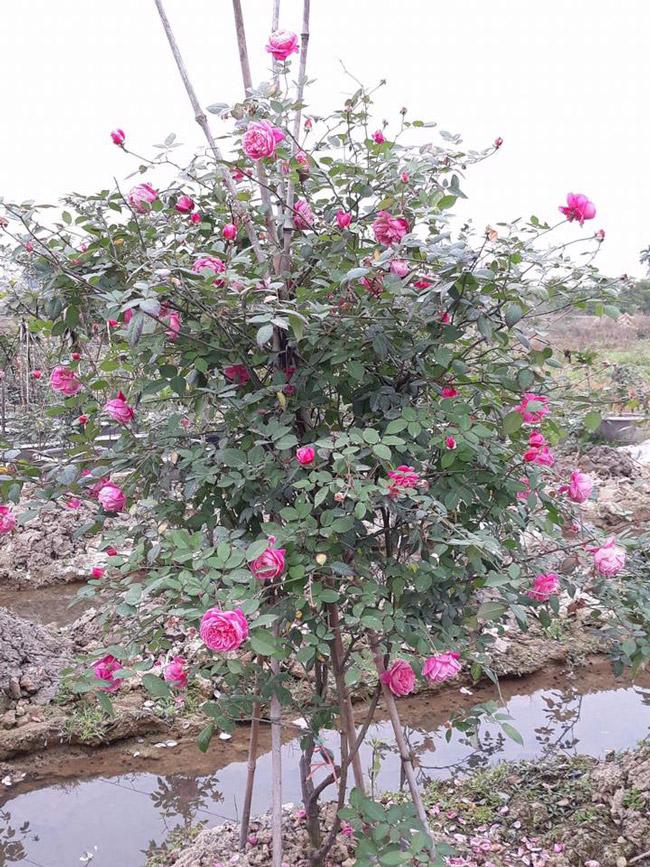 Những gốc hoa hồng cổ siêu đắt đỏ của đại gia Việt-5