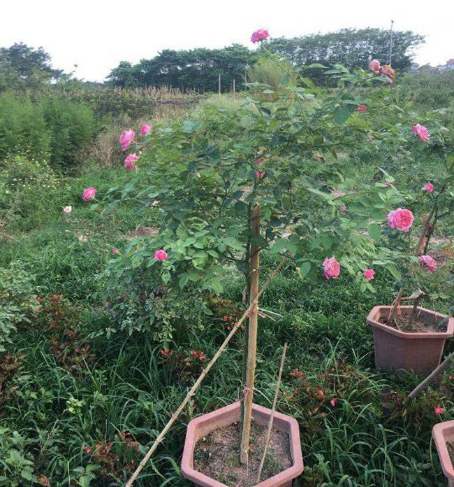Những gốc hoa hồng cổ siêu đắt đỏ của đại gia Việt-7