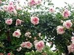 Cây hồng cổ Sapa cao hơn 5 mét giá 300 triệu-9