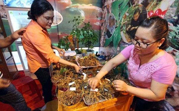 Quảng Nam: Sốc với giá của sâm Ngọc Linh được đẩy lên 150 triệu/kg-1