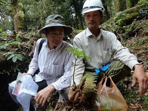Quảng Nam: Sốc với giá của sâm Ngọc Linh được đẩy lên 150 triệu/kg-4