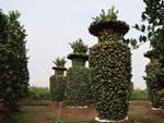 Biến cây trồng bờ rào thành kiểng long quy giá 400 triệu đồng/cặp-9