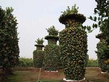 Vườn quýt lục bình khổng lồ ở Hưng Yên giá 50 triệu đồng/cặp