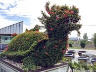 Biến cây trồng bờ rào thành kiểng 'long quy' giá 400 triệu đồng/cặp