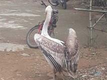 Dân Huế liên tục bắt được chim Bồ nông quý hiếm, gắn thiết bị có chữ nước ngoài